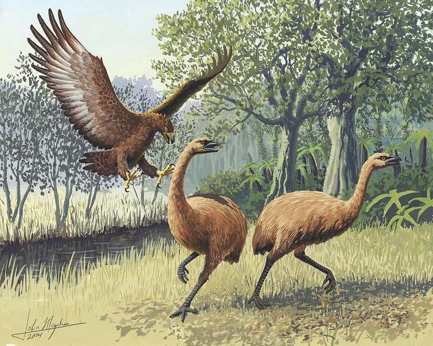 恐鸟是9种不会飞行的鸟类之一,它们与鸵鸟和小型几维鸟是近亲,原产地是新西兰,以植物为食。