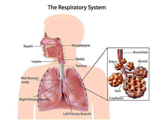 当我们呼吸时,空气通过鼻孔进入鼻腔,再通向鼻咽,鼻咽是咽喉的一部分,通常是食物和空气的传输通道,它通过喉声门进入气管。气管是一根直管,一直延伸至胸腔中部。在第五胸椎处,气管分为左右主支气管,当吸入气体到达这里时,就进入到胸腔左右两个肺。