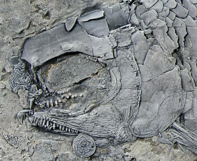 图2。 亚洲肋鳞裂齿鱼正型标本头部发大图 (徐光辉 供图)