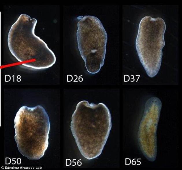 所有生物都具备一定的再生能力,人类也不例外。但蚯蚓、海星等无脊椎动物的再生能力要发达得多。图为研究人员在实验中用到的部分涡虫。