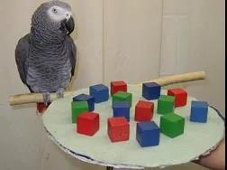 灰鹦鹉Alex。| 图片来源:Wikicommons