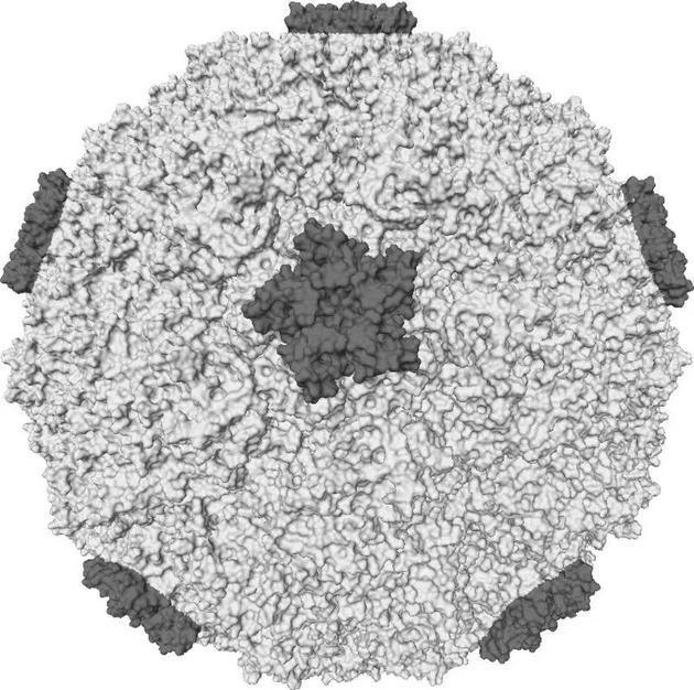某人类鼻病毒株形式  @wikipedia