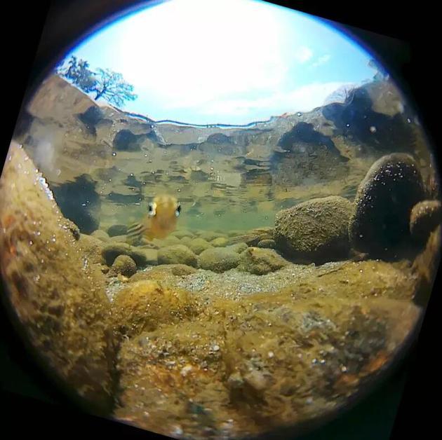 成年斑马鱼