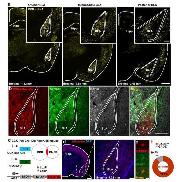 小鼠杏仁核区域内胆囊收缩素阳性神经元的分布