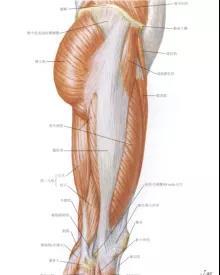 图2大腿外侧肌肉示意图图片来源:奈特人体解剖学图谱