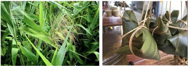 图1:粽叶芦(来源:中国植物图像库) 图2:粽叶芦包的粽子(来源:奇闻趣事百家号)