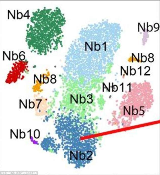 """这种干细胞被命名为Nb2,是成体多功能干细胞的一种。人体内的这种""""未分化""""细胞可发育为多种器官与组织。能发现这种细胞,还要归功于一种名叫piwi-1的蛋白质标记。更重要的是,这种蛋白质也存在于人体中。"""