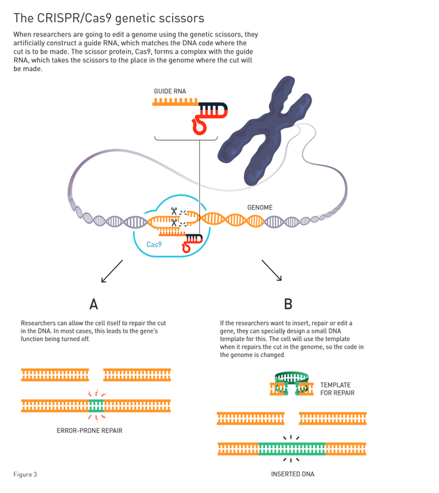 CRISPR/Cas9基因剪刀