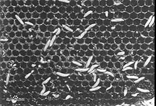蜡螟的巢虫(图片来源:百度百科)