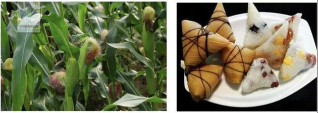 图1:玉米(来源:中国植物图像库)图2:玉米苞叶包的粽子(来源:嘴馋美食搜狐号)
