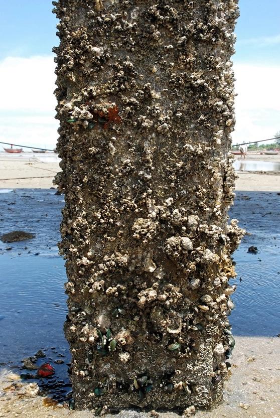混凝土结构表面的海洋生物污损