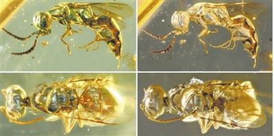 青蜂化石身体外观组织色转折前后的对比图 受访者供图