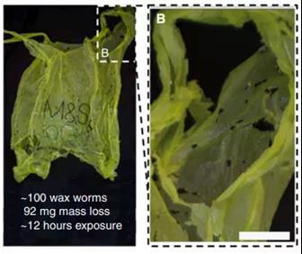 一百只蜡螟12小时内对塑料袋的降解