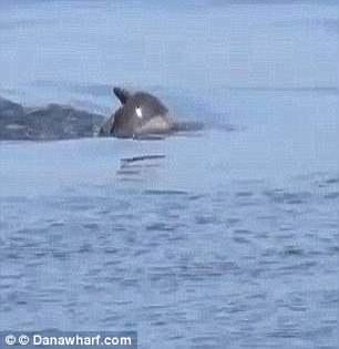 在加利福尼亚附近海域,人们发现一只海豚母亲背着死亡幼崽的尸体。