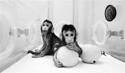"""两只体细胞克隆猴""""中中""""和""""华华""""在中国诞生 图片来自网络"""