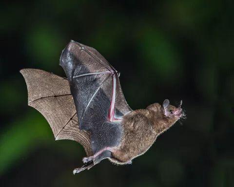 蝙蝠不招惹人类已是万幸,为什么还有人敢吃它们?