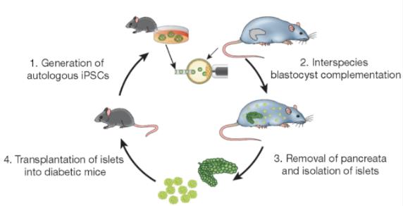 1年后小鼠的血糖值依然维持在正常水平(Toshihiro Kobayashi et al, cell,2010; Toshihiro Kobayashi et al, nature, 2017)。