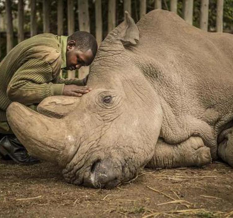 世界犀牛日:拯救北白犀的一线生机