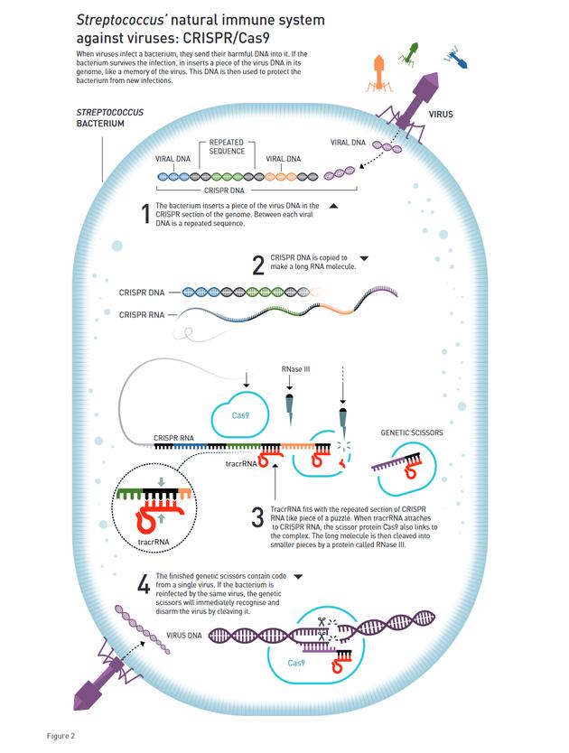 链球菌对抗病毒的自然免疫系统:CRISPR/Cas9