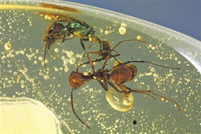 白垩纪缅甸琥珀中具金属色彩组织色的昆虫 受访者供图