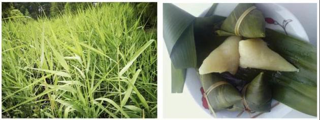图1:芦苇叶(摄影:曹承娥) 图2:芦苇叶包的粽子(来源:妈妈网)