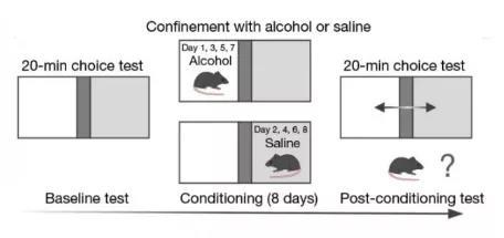 经过训练后的正常小鼠,更喜欢待在有酒精的隔间。而ACSS2酶活性受到抑制的小鼠,不会表现出这种现象。
