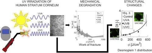 ▲ 不同波长的紫外线都会影响皮肤的完整性 (图片来源:参考资料[1])