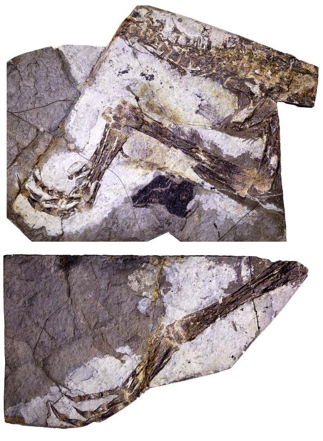 科學家發現恐龍新物種大小如公雞