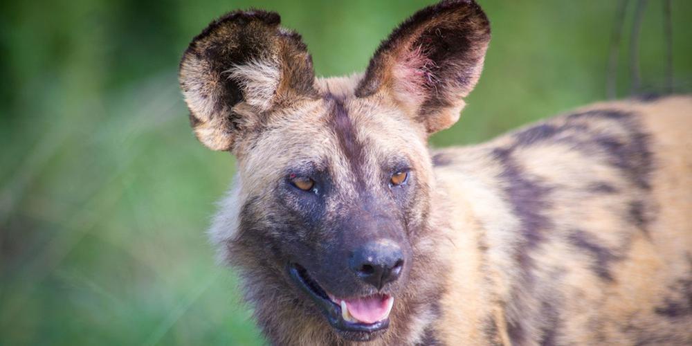 非洲野犬体色斑驳耳朵神似蝴蝶 已被列为濒危物种