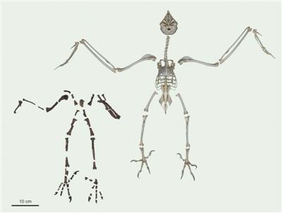 6000萬年前腳爪異于現今 古老貓頭鷹或有不同捕獵方式