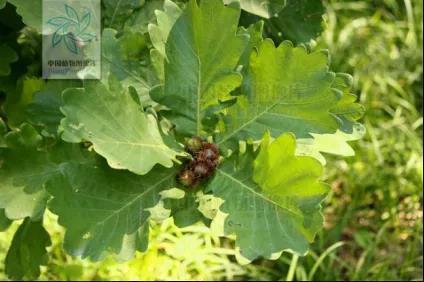 图1:槲树叶(来源:中国植物图像库)
