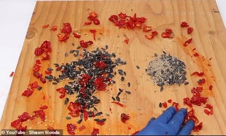 """实验发现:老鼠能将世界最辣的""""死神""""辣椒当美食"""