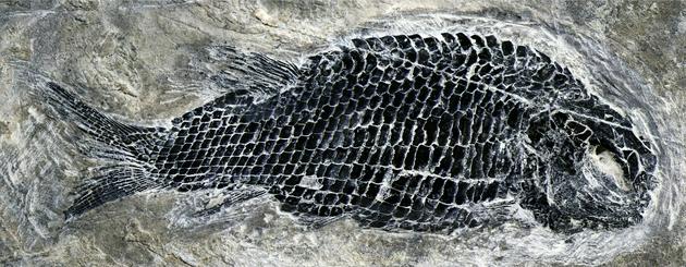 图3。 亚洲肋鳞裂齿鱼完整标本 (徐光辉 供图)