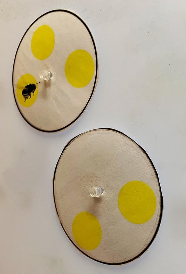 在实验中,科学家发现蜜蜂能够数到5,并且能够训练它们在两个数值中选择大幼。当训练蜜蜂选择两个数目中较幼的一个,它们能够选择零数值