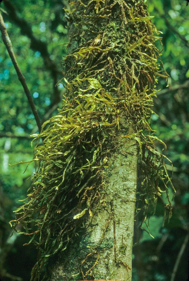 图为在巴拿马坎帕纳国家公园中发现的一种吊苔。