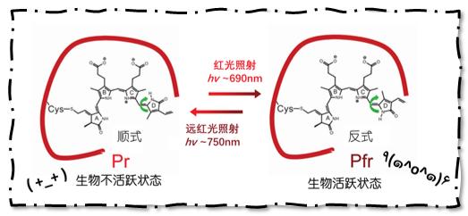 胆绿素在红光和远红光作用下的组织转折