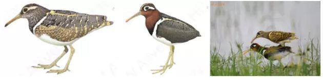 图2从左到右的图片依次为:彩鹬雄鸟、彩鹬雌鸟、彩鹬交配。图片来源:世界鸟类手册 摄影师:老渔民