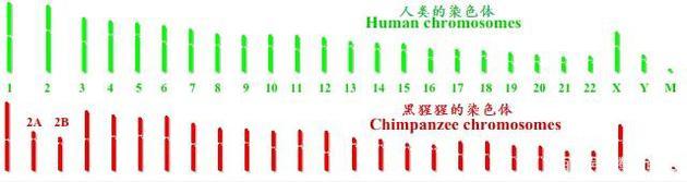 人类为什么曾经拥有尾巴,后来又没有了呢?-玩懂手机网 - 玩懂手机第一手的手机资讯网(www.wdshouji.com)
