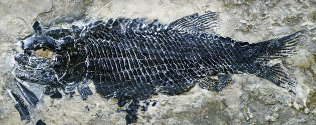 图4。 亚洲肋鳞裂齿鱼完整标本 (徐光辉 供图)