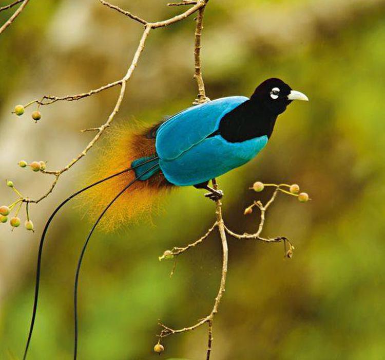 极乐鸟qq_极乐鸟酷炫求偶仪式的颜色机制:或带来新超黑材料|羽毛|雄鸟