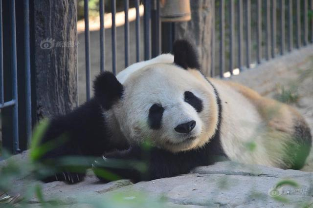北京夏天太热 大熊猫出来散心萌翻网友