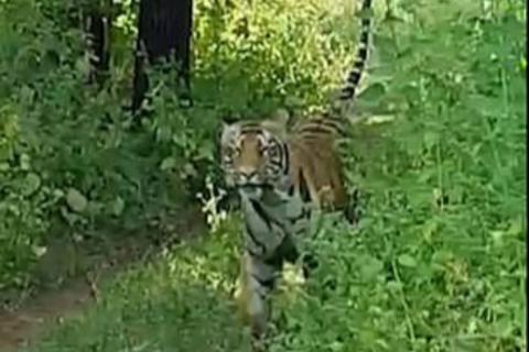 印度游客被老虎追逐狂尖叫 导游淡定称:它开玩笑