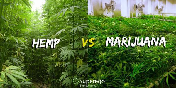 工业大麻和毒品大麻