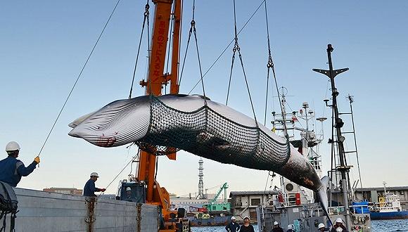 2017年9月5日,日本北海道钏路,钏路近海开起实走每年一度的沿海科研捕鲸。图片来源:视觉中国