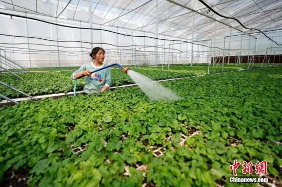 资料图:蔬菜种植基地里一位农民在大棚里给苦瓜育苗浇水。 中新社记者 贺俊怡 摄
