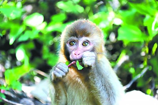 在河南济源太走山猕猴国家自然珍惜区生活的猕猴宝宝。清明图片/视觉中国
