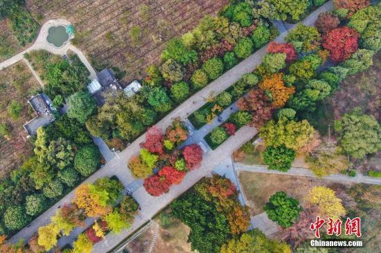 10月24日晨,航拍南京紫金山明孝陵石象路,乌桕、榉树、银杏、三角枫等植被色彩斑斓,秋景如画。中新社记者 泱波 摄