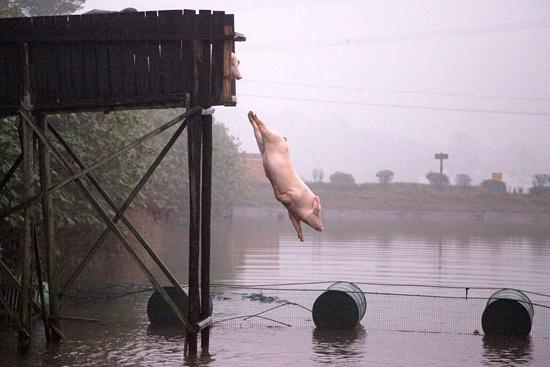 2012年11月22日,湖南省宁乡县金洲镇关山村村民将饲养的土猪赶去高台进走跳水锻炼,以挑高猪肉的品质和口感。(原料图片)视觉中国供图
