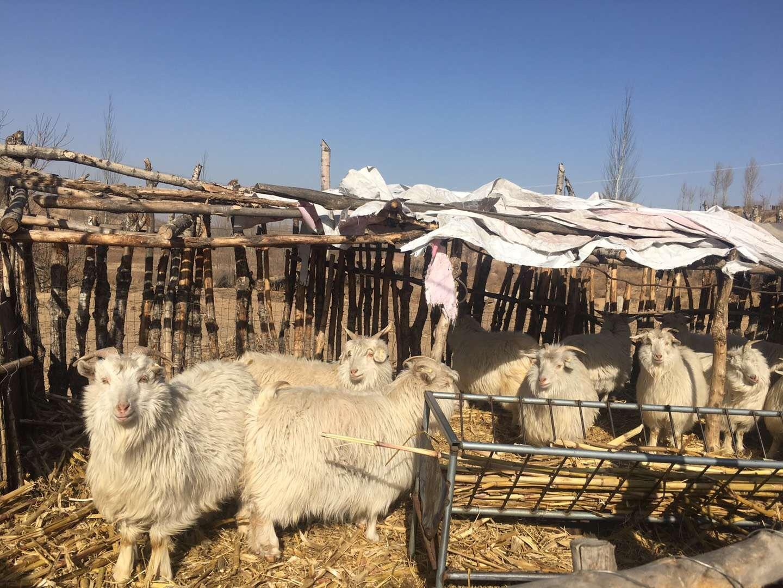 """2018年1月31日,陕西榆林市横山区,""""千亿矿权案""""波罗井田所在乡下,处于毛乌素沙漠和黄土高原交汇处。上图为村民家中养的羊。新京报记者 王婧祎 摄"""