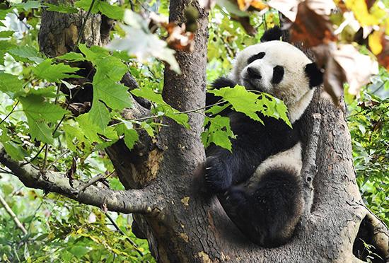 """大熊猫国家公园(四川园区)内憨态可掬的""""国宝""""。视觉中国 原料图"""
